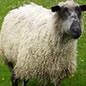 Spinn själv!  topsband av 100% ull, från fårrasen Teeswater